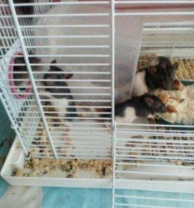 Крысята декоративные осталось уже 4 крыски