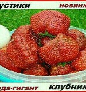 Кустики самой крупноплодной и урожайной клубники