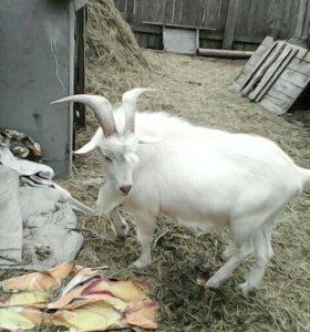 Заанинский козел производитель