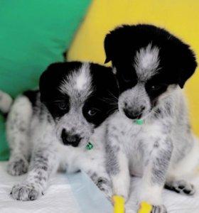 Удивительные щенки в дар