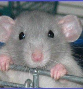 Крысы крысята дамбо голубые