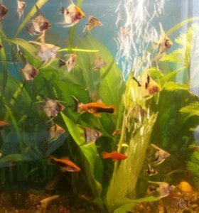 Аквариумные рыбки домашнего разведения