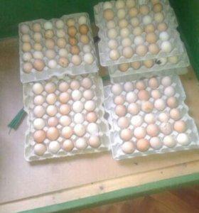 Домашние яйцо