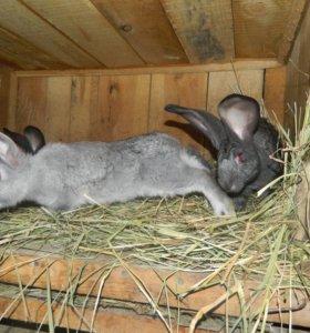 Кролики породы фландр бельгийский. На фото 2 месяц