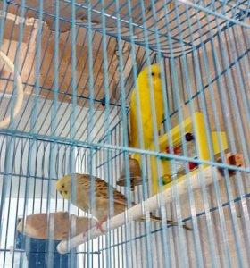 Волнистые попугаи, пара