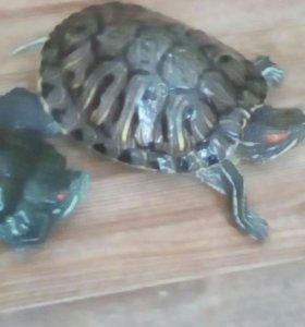 Продам черепах.