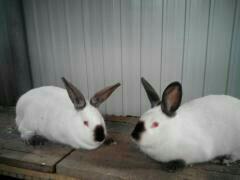 Калифорнийские кролы