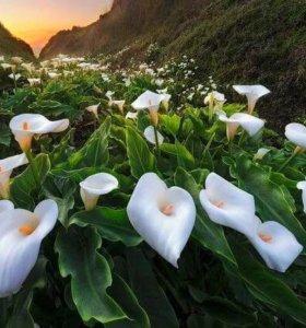 Продам взрослые цветы Калла