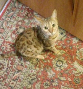 Бенгальская кошка с документами и правом разведени