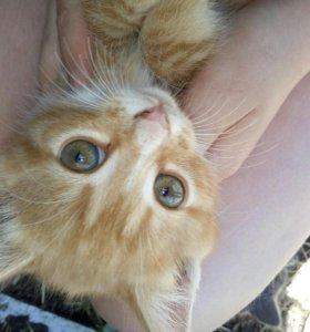 Рыжинький котенок