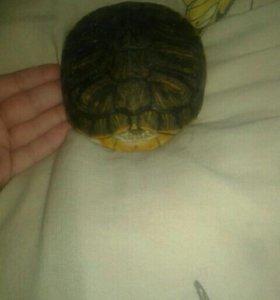 Одам даром черепаху красноухою