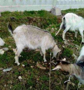 Дойные козы.