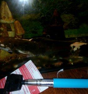 Сом аквариумный