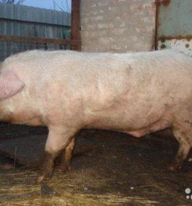 Мясо домашней свинины