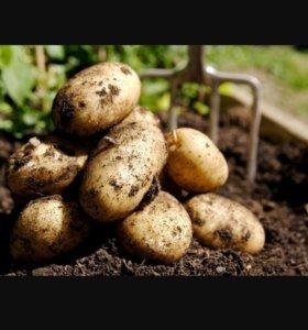 Картофель деревенский,отборный