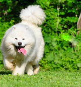 Самоедская собака (Самоед)