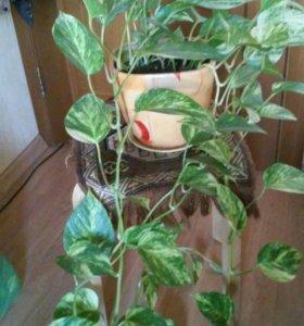 Комн вьющееся растение. в красивом горшке