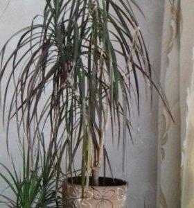 Комнатный цветок Драцена