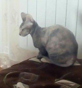 Кошечка сфинкса