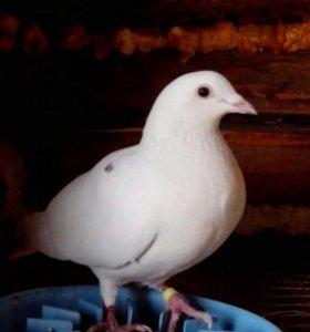 Прадаю голубя пачтового