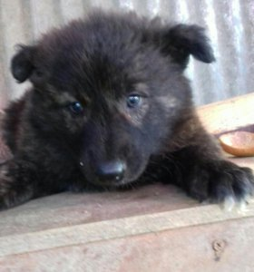 Щенок (девочка, 1,5 месяца )
