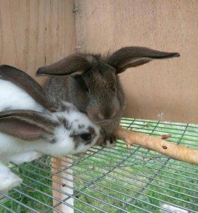 Кролики помеси фландра