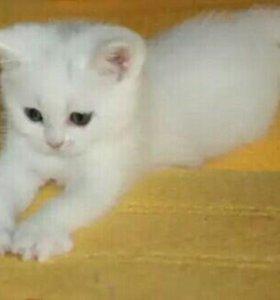 Котенок-британский(мальчик)