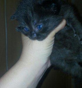 Котята от шотландской кошки