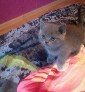 Британский котенок(кошечка)
