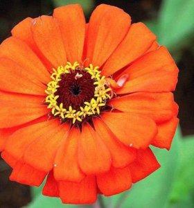 Циния георгиноцветковая