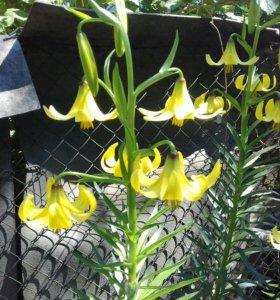 Лилии, ромашки, ирисы, лилейник в букеты и