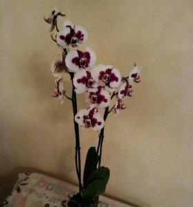 Орхидеи от производителя