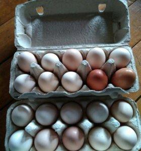 Яйцо домашне