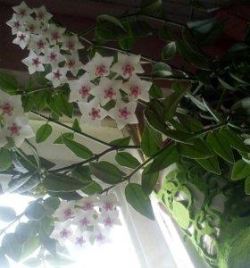 Ароматный цветок Хойя.