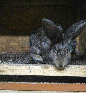 Кролик чистокровный фландр