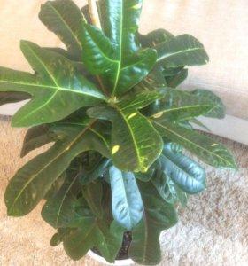 Комнатное растение - кодиум