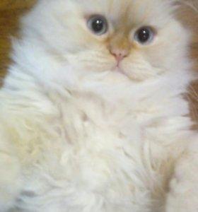 Кот смесь перса с сибирским. Бесплатно