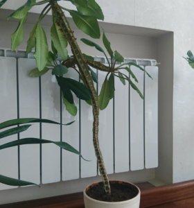 Молочай пятигранный, Фикус кактус пальма