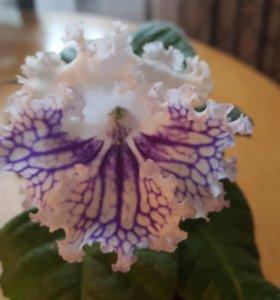 Цветы:Отростки стрептокарпусов