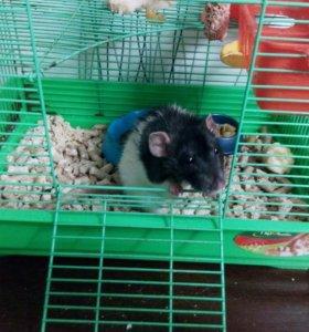 Отдам взрослую крысу