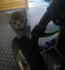 Шотландский котенок в добрые руки