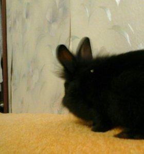 Кролики карликовые декаративные