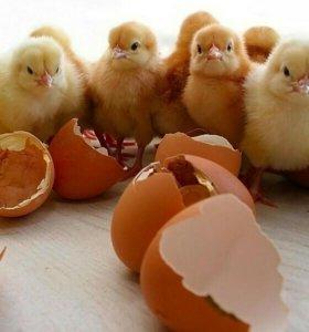Яйцо бройлеров