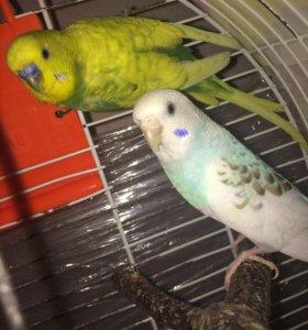 Волнистые попугаи . Пара