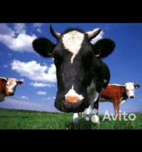 Продаётся корова