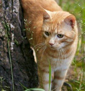 Кот Рыжий красавчик