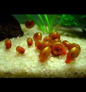 Улиточки аквариумные катушки