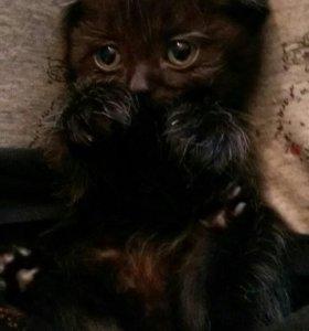 Котенок, шотландский вислоухий