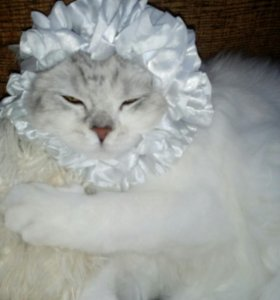 Продам Шотландского котёнка .