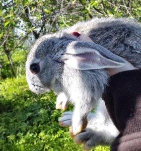 Кролик.Советская Шиншилла